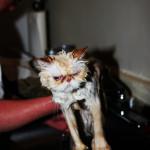 Gatos_mojados (7)